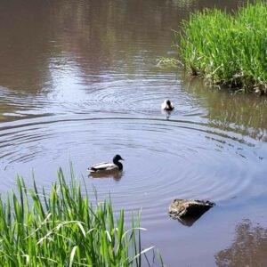 Entenpaar schwimmend auf dem See